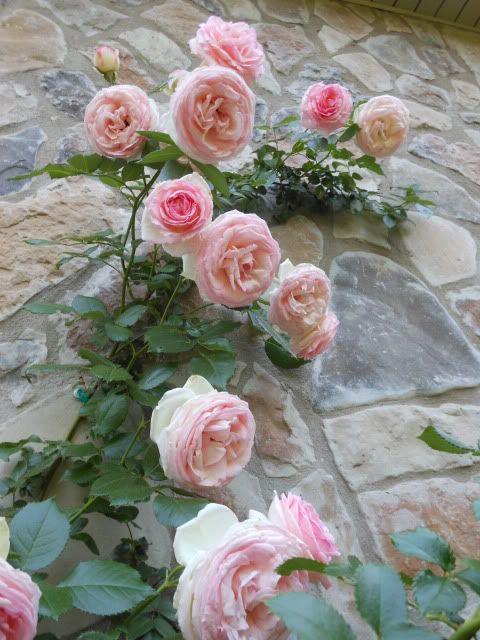 17 best images about eden climbing rose on pinterest vines cabbage roses and roses. Black Bedroom Furniture Sets. Home Design Ideas