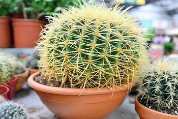 Jak opiekować się kaktusami?