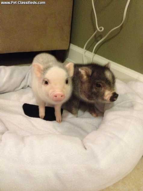 Micro Mini Teacup Pig Free Shipping Mini Piggies