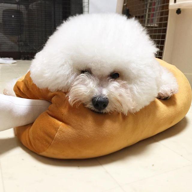 🐾 dolce pic…❤️ * 前足がむがゅっとなって たまらん、可愛さ。 * #bichon#bichonfrise#dog#pet#cute#instadog#cutedog#dogstagram#petphoto#bichonphoto#bichongram#instagramdogs#grooming#ビションフリーゼ#もふもふ#まっしろもんすたー#肉#UFOキャッチャー#可愛い#ふわもこ部#丸#まんまる#アフロ#ビション#もこもこ#癒し#遊ぶ#枕#まくら#お肉クッション