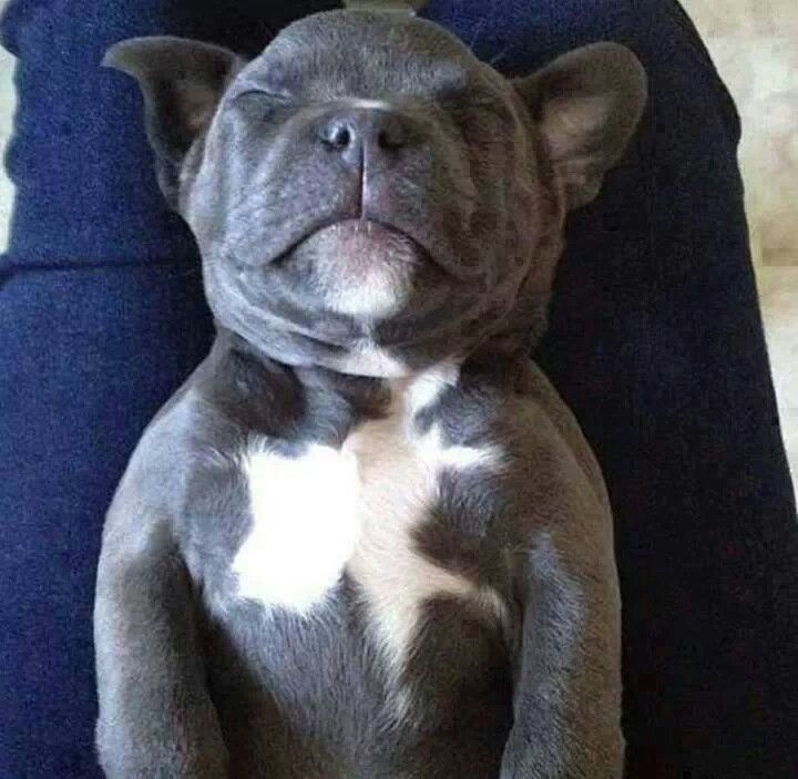 Pittbull puppy