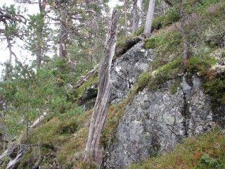 Mumie-trær nekter å råtne | forskning.no