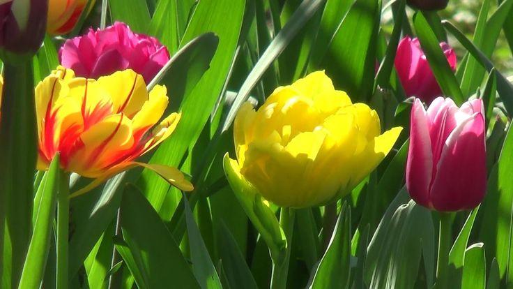 Festivalul florilor continuă...în close-up