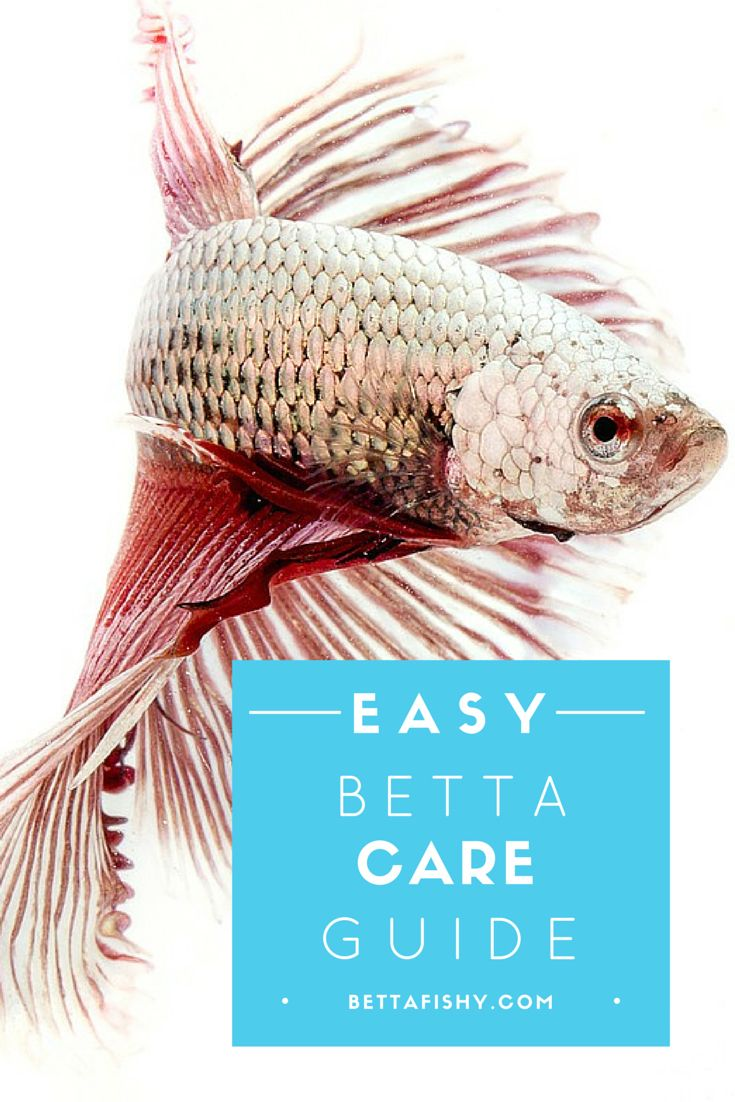 Betta fish everywhere will love you for learning!  www.bettafishy.com