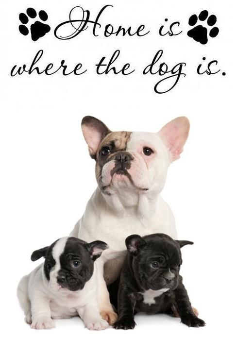 Home is where the French Bulldog is <3