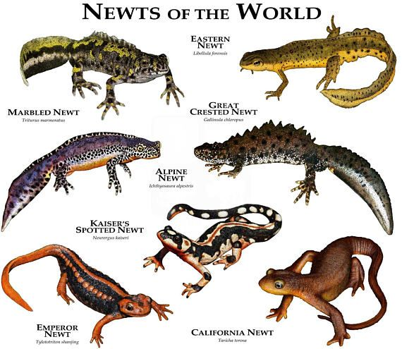 Newts Of The World Newt Animal Animals Wild Animal Habitats