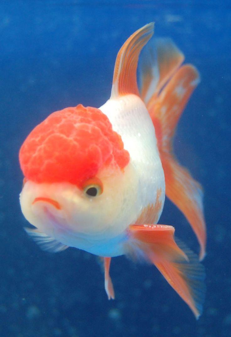 Pin by cynthia thornton on aquatic pinterest poisson for Koi pool thornton cleveleys