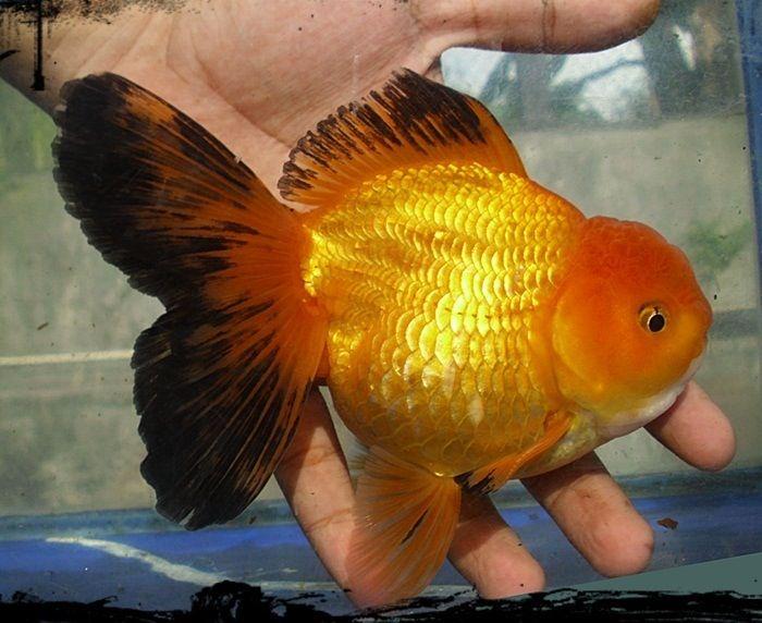 Oranda Gold Fish 31