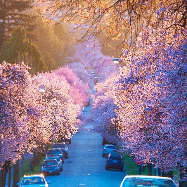 Vancouver Spring Cherry Blossoms