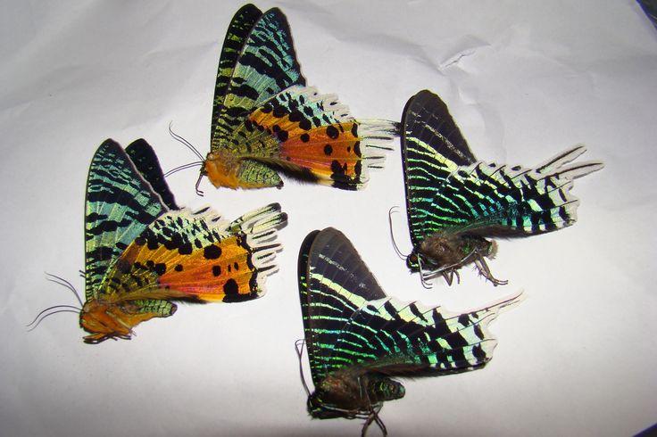 Uraniidae - ACTIAS