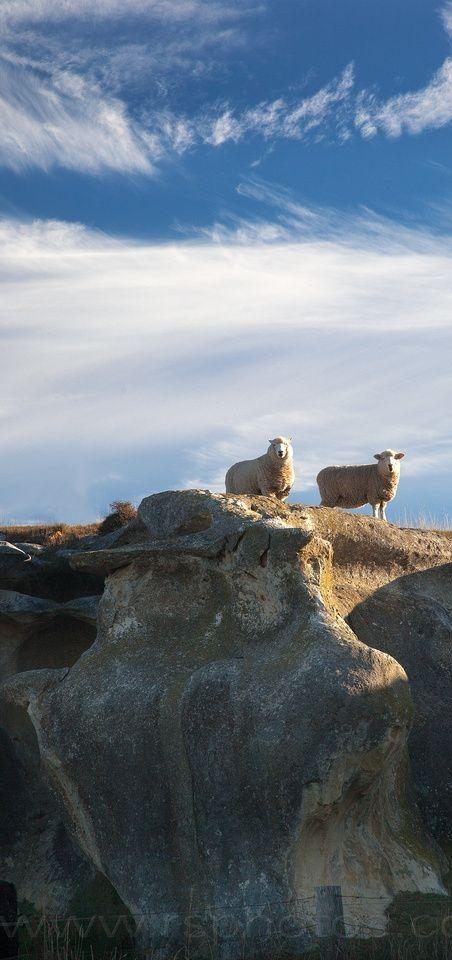 No country for old sheep - Waitaki valley, Otago, NZ
