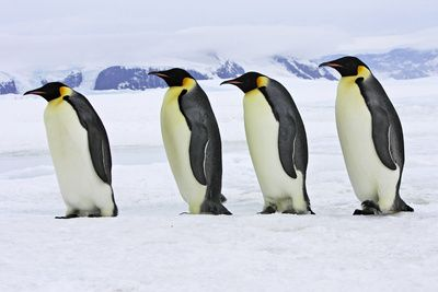 Emperor Penguin Four Adults Walking across Ice