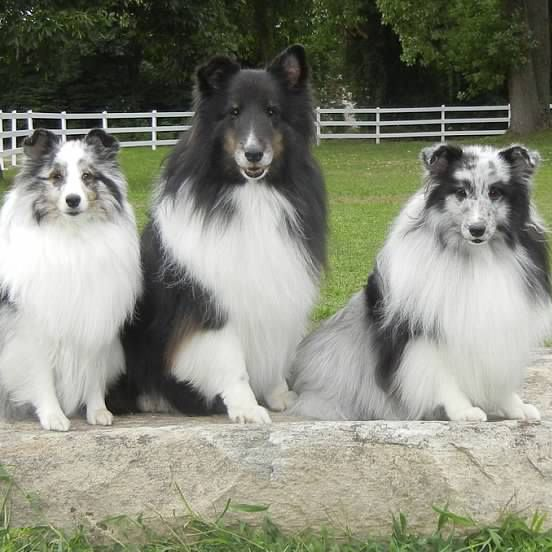 Blues and Tri Shelties