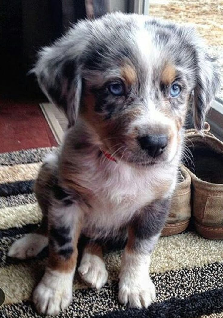 australianshepherdworld I want this one the most- love this mom- I want it- I…