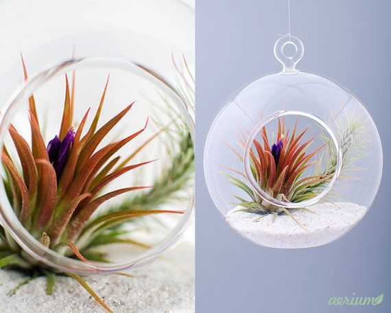 Beautifully handmade terrarium by romanian glass artisans. Dimensions are about 11 cm diameter.  This is borosilicate glass which is handmade, mouth-blown, no mold. Airplants are included. https://www.etsy.com/shop/Aerium