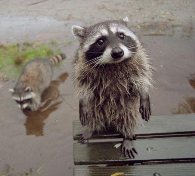 En Genial.guru estamos encantados con los mapaches y creemos que son igual de adorables a los gatitos. Tienen mucha sabiduría, y tal vez es por eso que son tan queridos por todos. Mira y compruébalo por tu cuenta.
