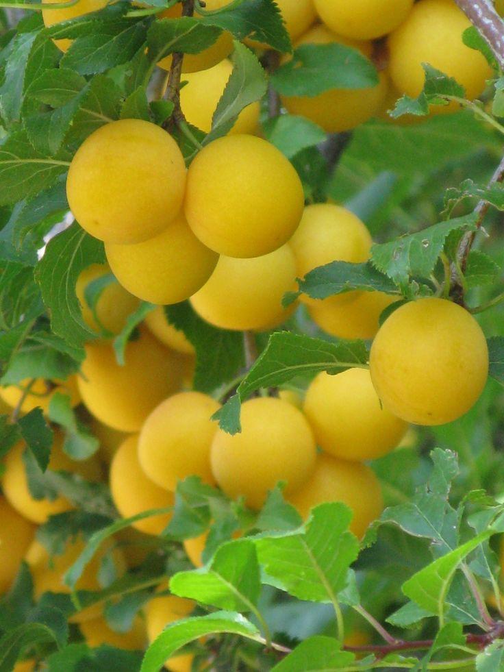 Mirabelles (plums)