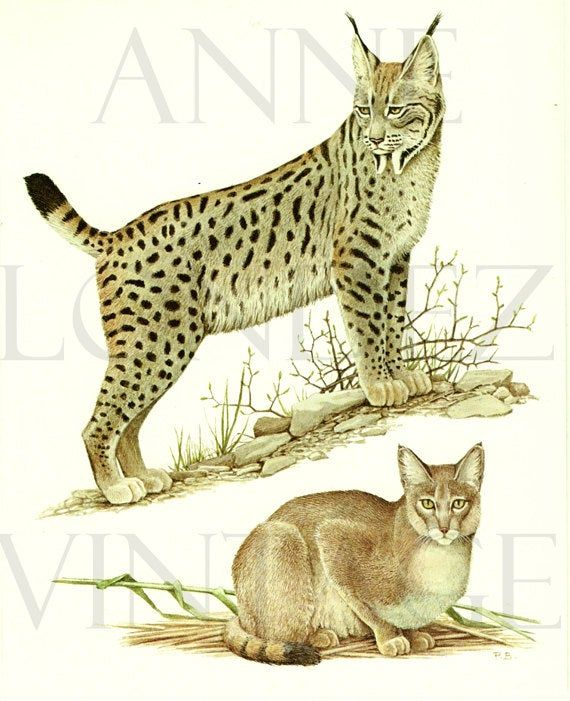 Lynx Print 1970 Vintage Lynx Art Jungle Cat Art Cat Decor Cat Etsy In 2020 Endangered Species Art Cat Art Wild Cats