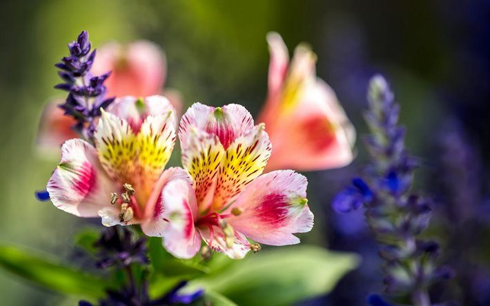 Alstroemeria, beautiful flowers, pink flower, wildflowers