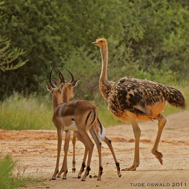 gazelle and ostrich symbiotic relationship