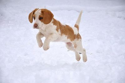 Beagle bounding in the snow