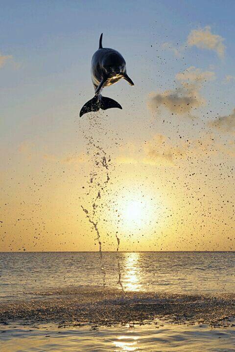 Pretty dolphin and sun set
