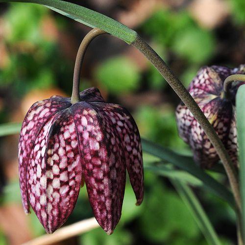 http://kwiatycebulkowe.pl/images/szachownica-szachownice.jpg