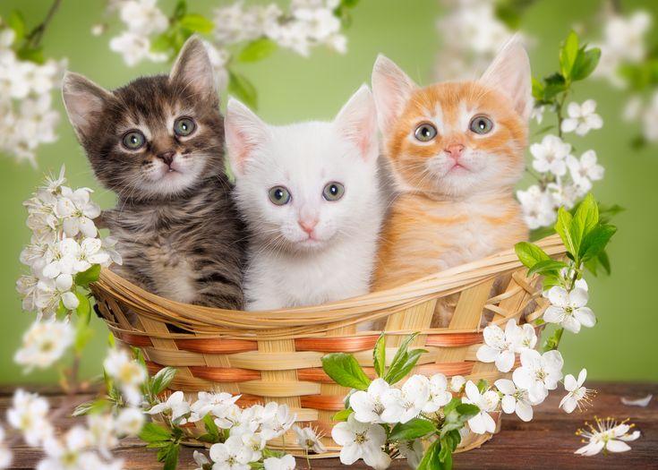 Des chatons trop mignons dans un panier les chatons les plus mignons cutest kittens ever - Photo chaton trop mignon ...