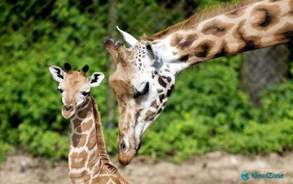Ученые объяснили появление длинной шеи у жирафов http://apral.ru/2017/04/28/uchenye-obyasnili-poyavlenie-dlinnoj-shei-u-zhirafov/  Зоологи обследовали 71 кость девяти ископаемых и двух современных видов семейства жирафовых Длинная шея этих животных возникла в два этапа [...]