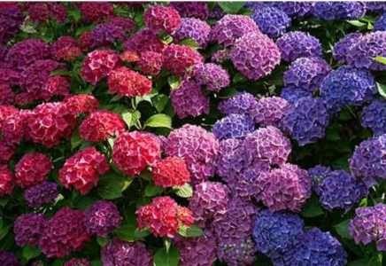 Cultivo de hortensias gu a para el cuidado de las - Hortensias cuidados poda ...