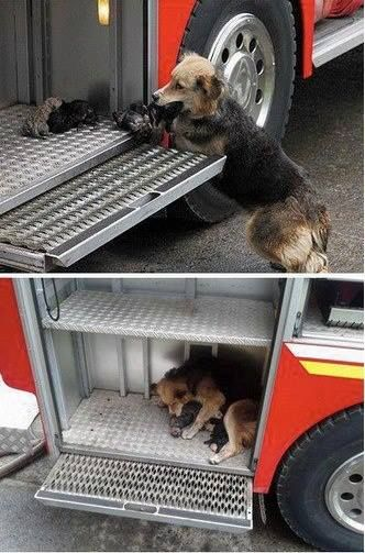 True Story - A fire in a house in the USA forced the owners and mother to evacuate. The mother not wanting to leave her puppies behind...