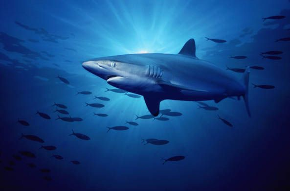 The silky shark (Carcharhinus falciformis) is found in tropical and warm temperate seas. Its population has declined by an average of 50% in the north-west Atlantic since the early 1970s