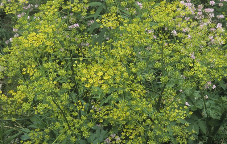 Watch out for Wild Parsnip in the warmer months.  Will cause burning, itching, bubbling, blistering, crusting and scarring of skin that comes in contact with it.  Looks like Queen Anne's Lace.