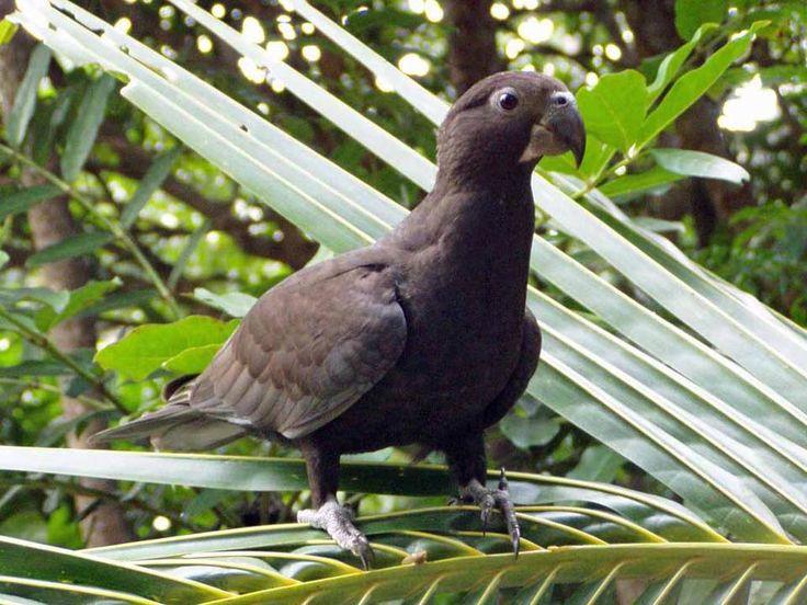 Vasa Maggiore - Vasa parrot - Coracopsis vasa