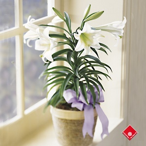 16 best easter lily images on pinterest irises court yard and the white easter lily plant from avas flowers helps the season by making a wonderful hostess gift for easter celebrations as negle Choice Image