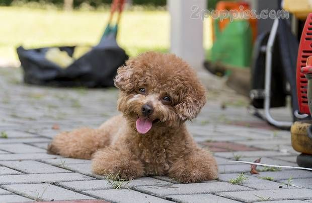 Dog Breeds Which Start With The Letter P 2puppies Com Poodle Mix Dogs Dog Breeds Poodle Dog