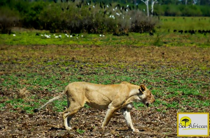 Lioness on the prowl! #Africa #SouthAfrica #adventure #explore #discover #holiday #travel #holidaydestination #idealholiday #fun #wild #wilderness #safari #tour #tourism #tourist #tourismagency #exotic