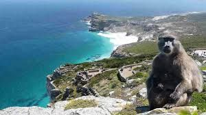 Image result for cape point baboons