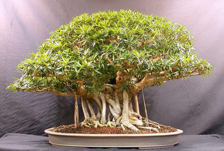 bonsai   Loucura e Sanidade são sinônimos em situações diferentes.