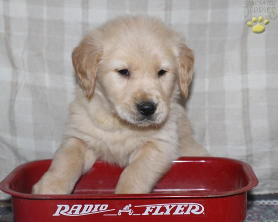 Pin By Sherrel On Golden Beauty Golden Retriever Puppies For