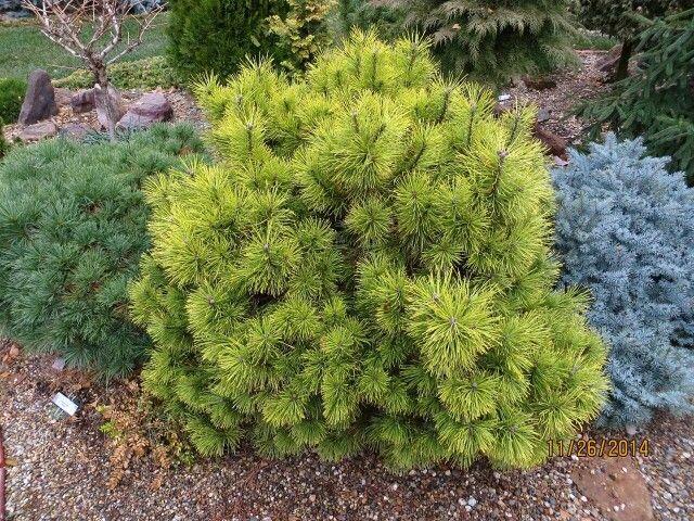 Pinus mugo 'Zundert'