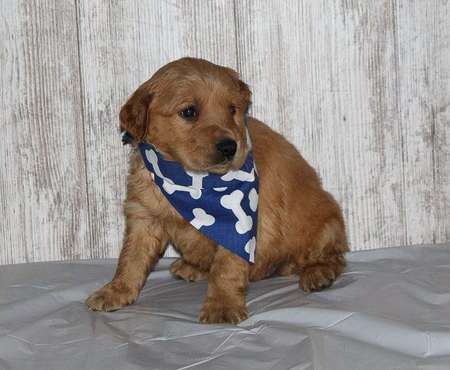 Shane A New Male Apri Golden Irish Puppy For Sale Born In