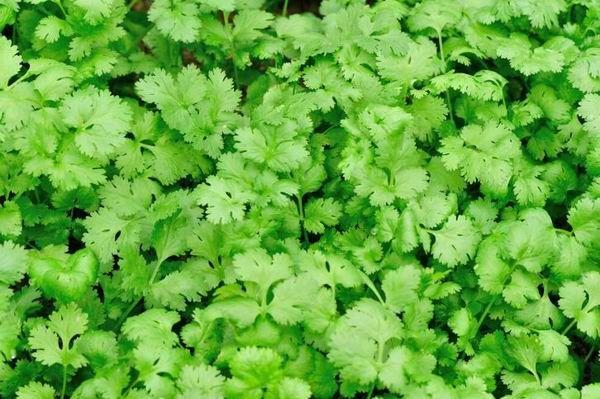 Jellegzetes, csipkés levelei emlékeztetnek a petrezselyemzöldre