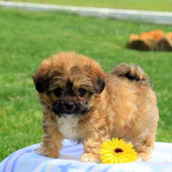 Chi Chon Puppies For Sale Chi Chon Dog Breed Info Greenfield Puppies Bichon Frise Dogs Dog Breed Info Puppies