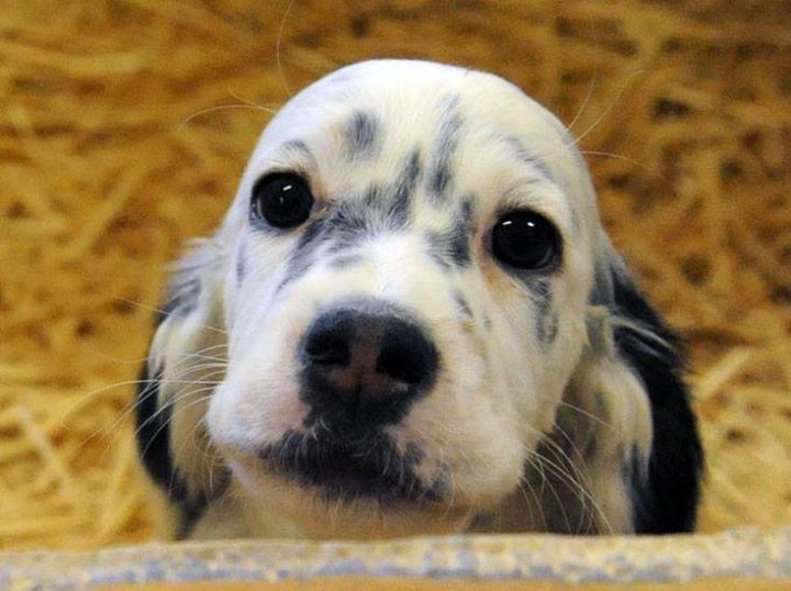13 Best English Setter Rescue And Adoption Images On