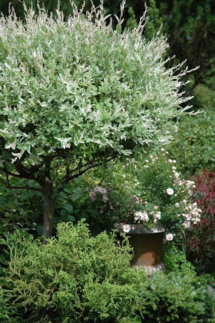 Salix integra hakuro nishiki leaves with x factor pinterest search - Salix hakuro nishiki taille ...