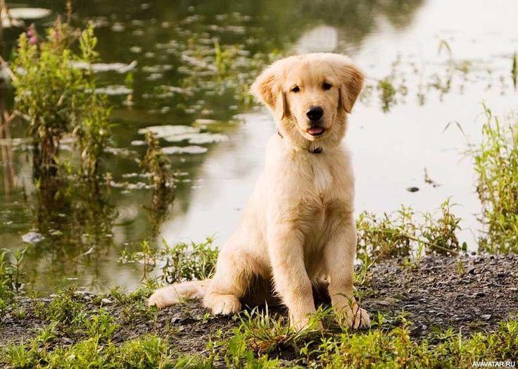 #golden_retrievers, #dogs, #animals, #pictures, #Золотистые_ретриверы, #собаки, #животные, #картинки https://avavatar.ru/image/13397