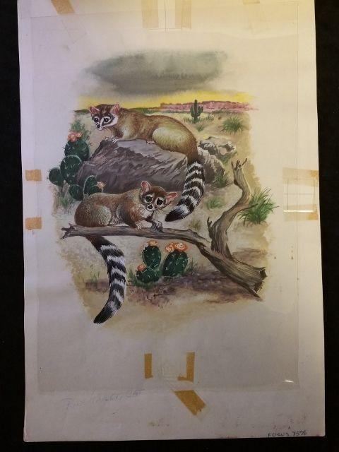 Animals of the Night RING TAILED CAT Original 1960s Book Illustration Artwork
