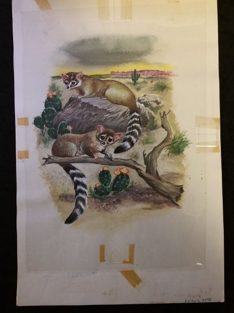 Animals of the Night RING TAILED CAT Original 1960s Book Illustration Artwork