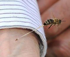 Les piqûres d'insectes Remède naturel contre une piqûre d'abeille Trucs naturels contre les piqûres de moustiques Traiter naturellement les piqûres d'insectes Repousser les insectes naturellement Les piqûres d'insectes Abeilles, guêpes, frelons et autres font partie de ces insectes que l'on redoute tant. Ce sont eux qui injectent leur venin dans leur malheureuse victime contrairement aux […]